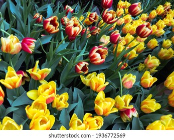 Tulips Spring Blooming. The Tulips Spring Blooming.