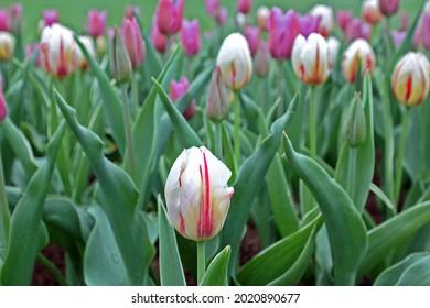 Tulips in spring in the botany garden