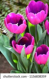 Tulips in a spring garden.