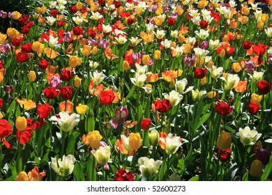 Tulips in Spring time