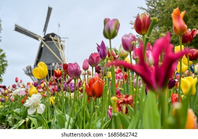 Tulips surrounding a windmill in the Netherlands.