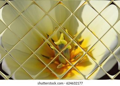 Tulips through window panes