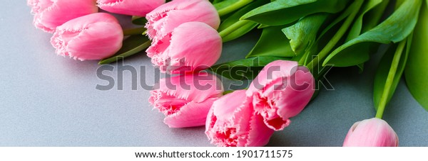 Tulips. Timelapse of bright pink striped colorful tulips flower blooming on white background. Time lapse tulip bunch of spring flowers opening, close-up. Holiday bouquet.