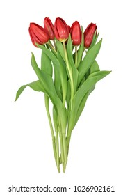 tulips (Tulipa) red isolated on white