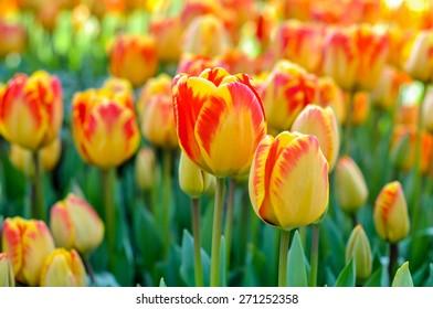 Tulips (Turkish Name: LALE)