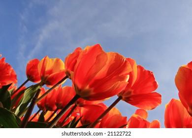 Tulips under the sky