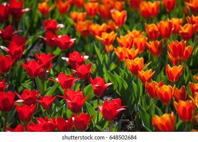Tulips vivid