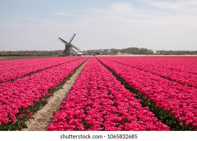 Tulips and an windmill
