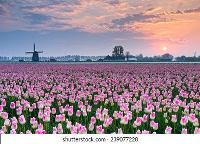 Tulips and windmill by sunrise ,North Nertherlands