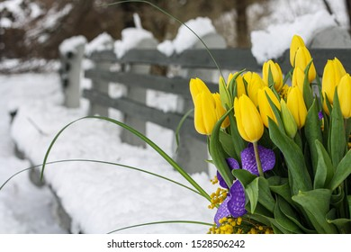 tulips in winter time on a banch