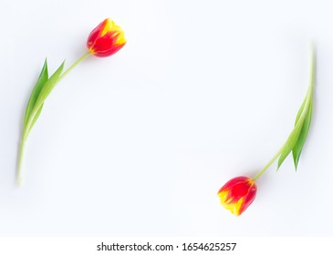 tulips yellow red on a white background
