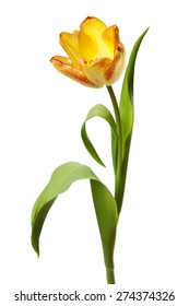 Tulips Yellow Red Orange Tulip Flowers Isolated on White Background