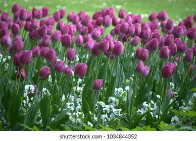 Tulpen Tulips Pink