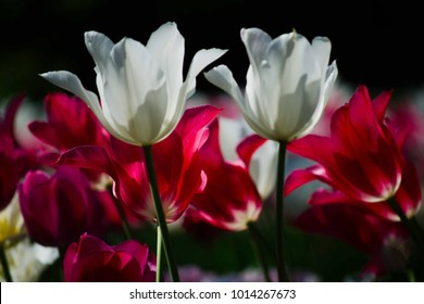 Tulpen White Red Pink