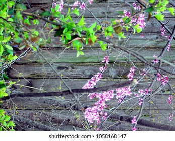 Tulsa, Oklahoma/USA-March 29, 2018:  Red bud branches in front of wooden fence