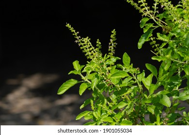 Tulsi or Holy basil tree in garden outdoor on sunny day black background. Tulsi is used in ayurvedic medicine.