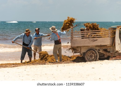 Tulum, Mexico - 5 August 2018: workers are loading Sargassum seaweed into a truck at Playa Paraiso.