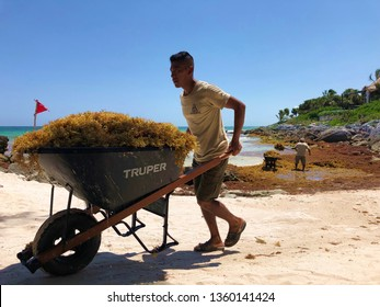 TULUM, MEXICO-MARCH 2019: Sargassum, a type of seaweed that continues to plague certain coastal regions of the Gulf and Caribbean, is removed piecemeal from beaches in Tulum, Mexico.