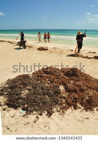 Sargassum seaweed caribbean 2019