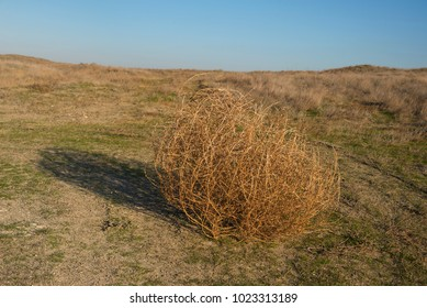 Tumbleweed in the dry steppe