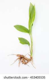 tumeric roots on white background.