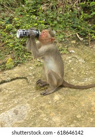 Tumkur, Karnataka, India - Jan 1, 2009 Bonnet macaque monkey drinking cold drink from a can on the top of a hill at Shivagange