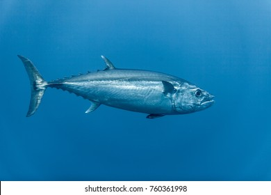 Tuna, disambiguation,  mackerel family (Scombridae)