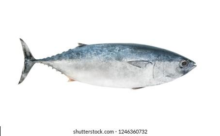 Tuna isolated on white background, Thunnus thynnus fish