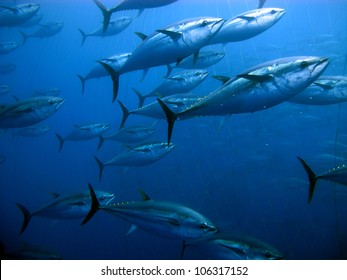 Tuna in the Mediterranean Sea