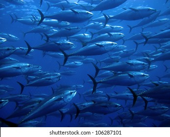 Tuna in the Mediterranean Seas
