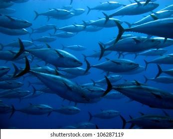 Tuna in the Mediterranean Seas