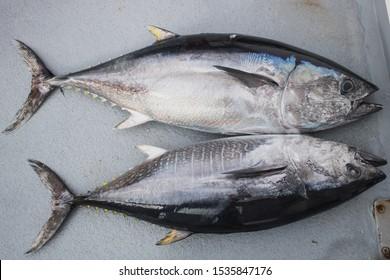 Tuna on a boat. Yellowfin. California