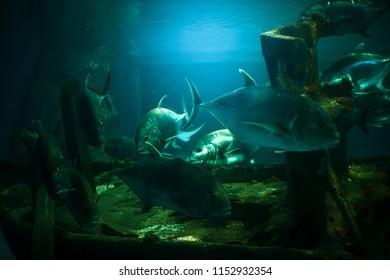 Tuna is swimming at night at a beautiful aquarium at night.
