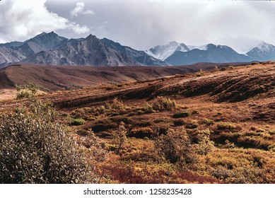 The tundra of Denali National Park, Alaska has turned golden in front of a range of snow-capped mountains as autumn turns to winter