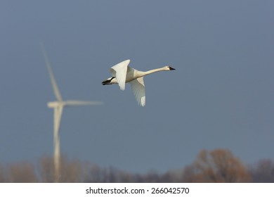 Tundra Swan (Cygnus columbianus) in flight with a wind turbine In the background - Ontario, Canada