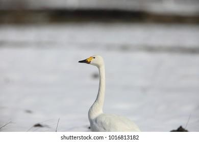 Tundra swan (Cygnus columbianus) in Japan