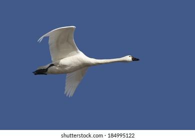 Tundra Swan Flying Overhead in Spring Against a Deep Blue Sky - Ontario, Canada