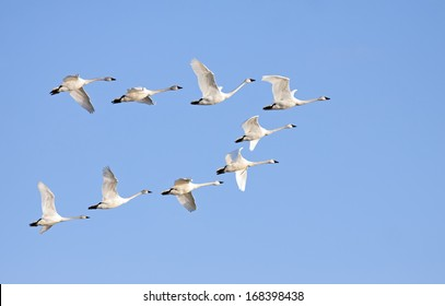 Tundra Swans flying in formation on a clear winter day.