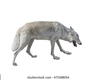 The tundra wolf (Canis lupus albus) on a white background isolated