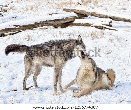 Tundra Wolf Demonstrating Submissive