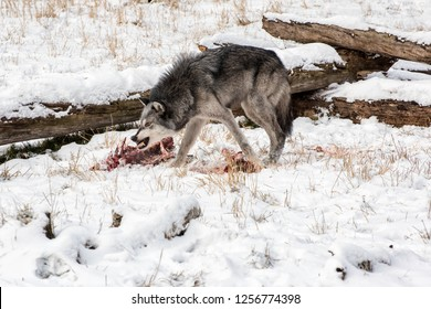 Tundra Wolf Snarling over an Elk Carcass in the Snow