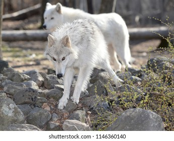 Tundra Wolf in the Wild