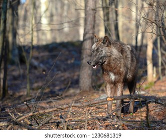 Tundra Wolf in the wild - Canis Lupus Albus