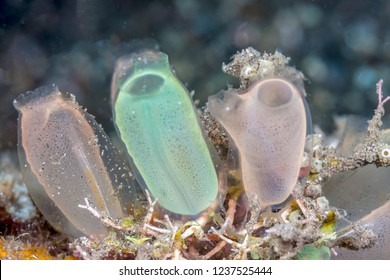 tunicate is a marine invertebrate animal, a member of the subphylum Tunicata, which is part of the Chordata,  - Shutterstock ID 1237525444