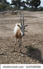 TUNIS, HAMMAMET-APRIL 30, 2019: saber-legged antelope (lat. Oryx dammah) in Friguia Park