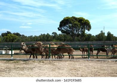 TUNIS, HAMMAMET-APRIL 30, 2019: single-humped camels (lat. Camelus Dromedarius) in Friguia Park