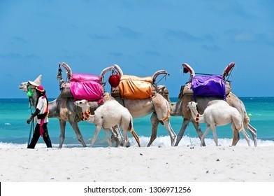 Tunisia. (South Tunisia) Djerba island. Beach of Sidi Mehrez. Camels use for sightseeing tours