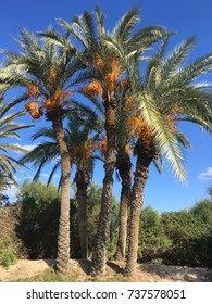 The Tunisian Palm trees on a background of blue sky
