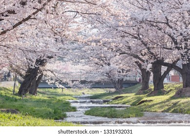 A tunnel of full blooming cherry blossom trees or Sakura trees (Somei Yoshino genus) along the banks of Kannonji River, Fukushima, Japan.