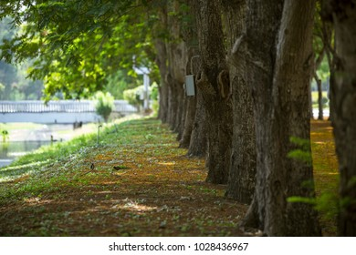 Tunnel tree row with path road and flower drop